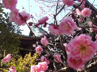 桜神宮と梅アップ.JPG